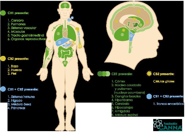 historia del cannabis-sistema endocannabinoide